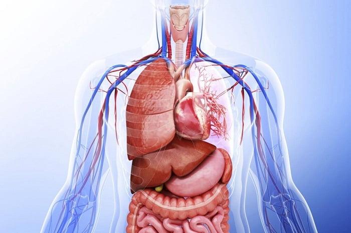 Organ Terbesar Pada Tubuh Manusia