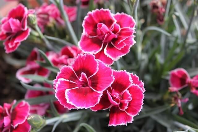 Anyelir (Dianthus)