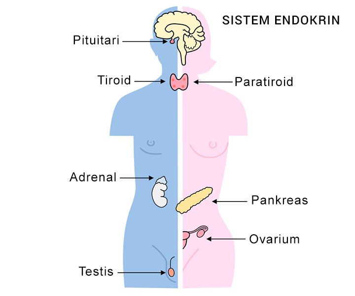 sistem endokrin (sistem hormon)
