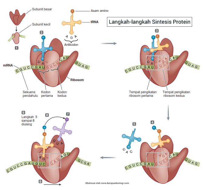 Langkah-langkah sintesis protein