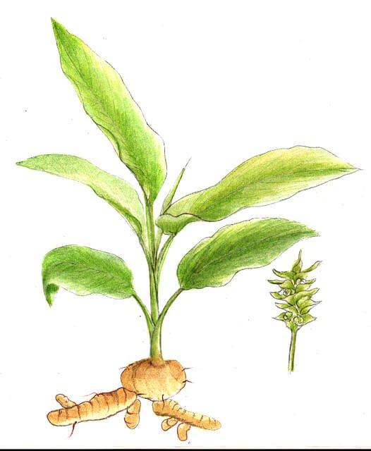 Morfologi dan klasifikasi tanaman kunyit (Curcuma longa)