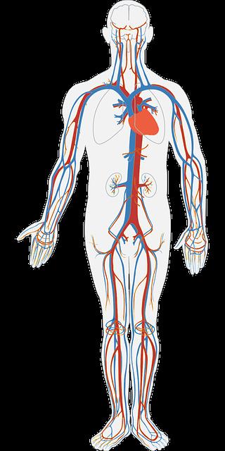 Grafik sistem peredaran darah pada manusia