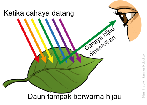 daun berwarna hijau karena klorfil